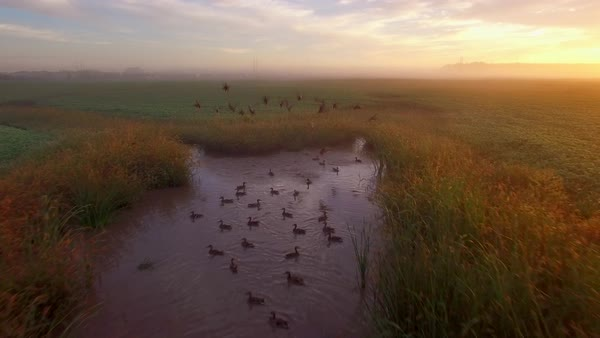 Flock of ducks in tiny pond, takeoff and fly early on an autumn morning. Royalty-free stock video