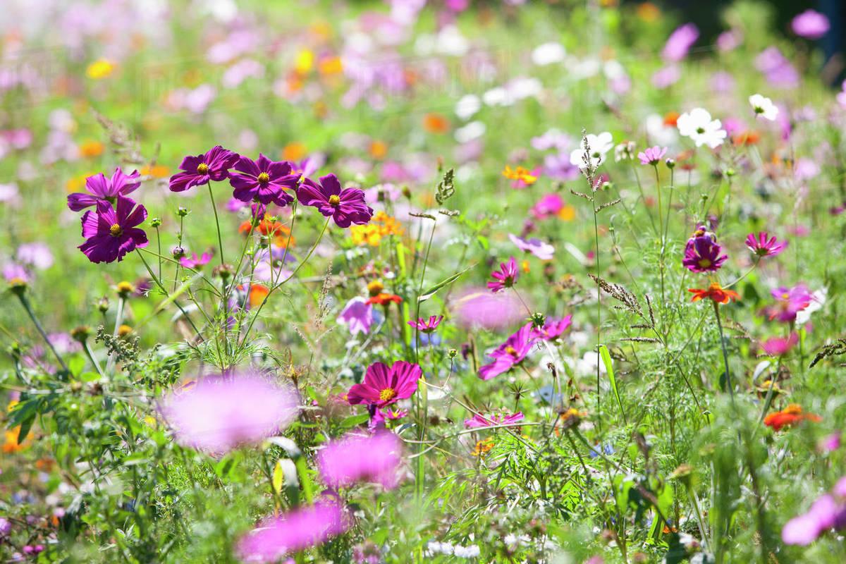 Pink Blooming Flowers In Field Of Wildflowers