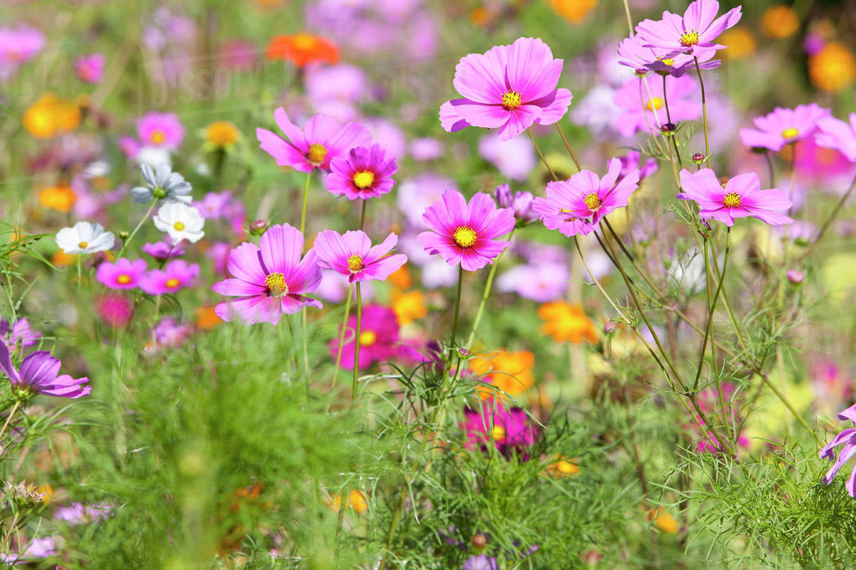 Pink Blooming Flower In Field Of Wildflowers Stock Photo Dissolve