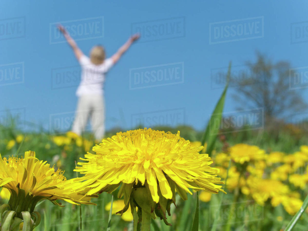 Woman with arms raised in field of blooming dandelions - Stock Photo ...