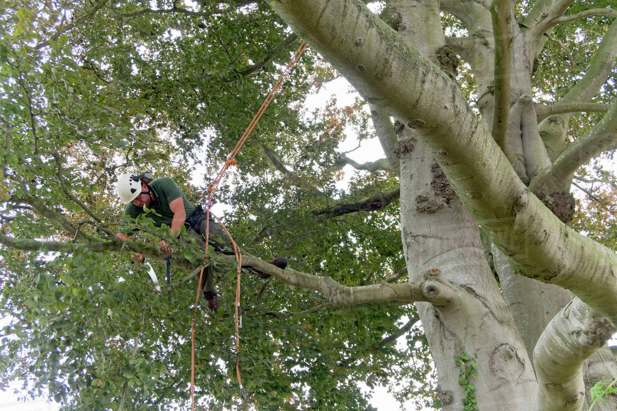 Tree Surgeon Wearing Safety Harness Pruning Copper Beech Branch With Saw