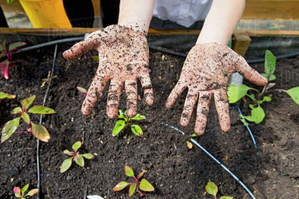 Middle schoolboy with dirty potting soil hands gardening planting plants Royalty-free stock photo