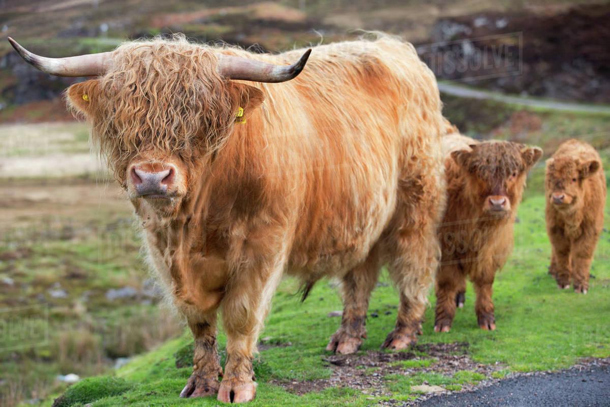 Highland Cattle Bull With Calves Stock Photo Dissolve