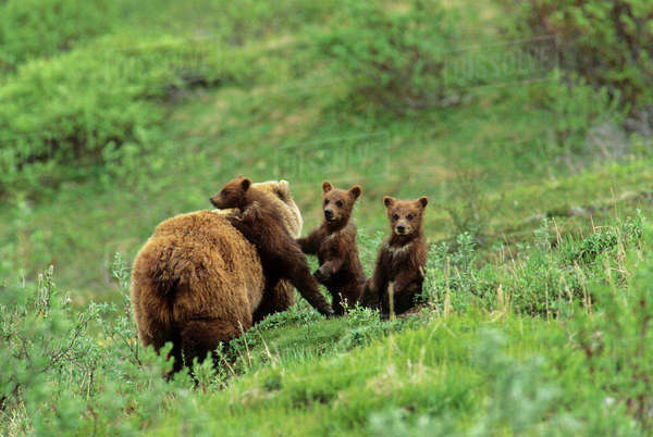 Denali National Park Grizzly Bear Sow Cubs Interior Alaska Tundra Summer Green Rights-managed stock photo
