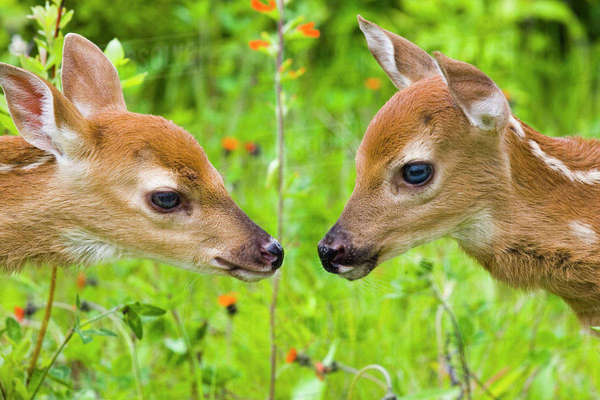 Twin White-Tailed Deer Fawns Nuzzling Together In Meadow Minnesota Spring Captive Rights-managed stock photo