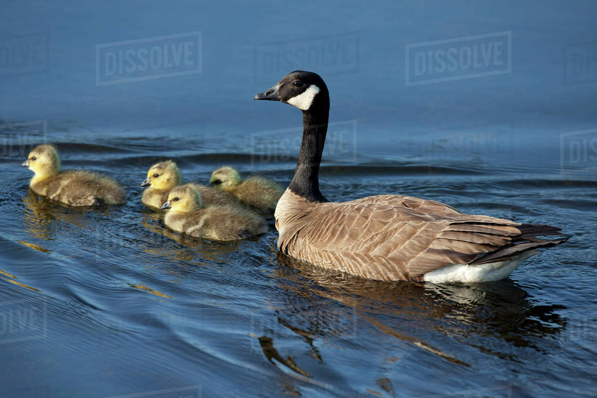 0cfb46acc5a Adult Canada Goose Swimming With Four Newborn Gosling Chicks In Potter  Marsh, Anchorage, Southcentral Alaska, Spring