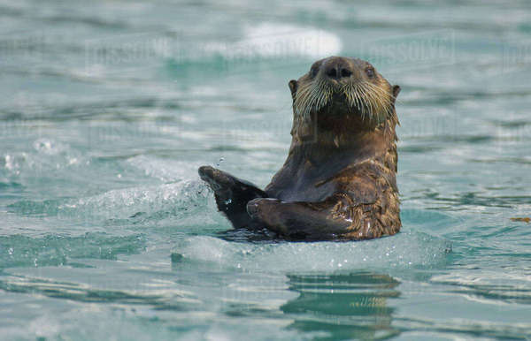 Sea Otter Playfully Slaps Water While Wading Through Sea Ice, Prince William Sound, Southcentral Alaska, Summer Rights-managed stock photo
