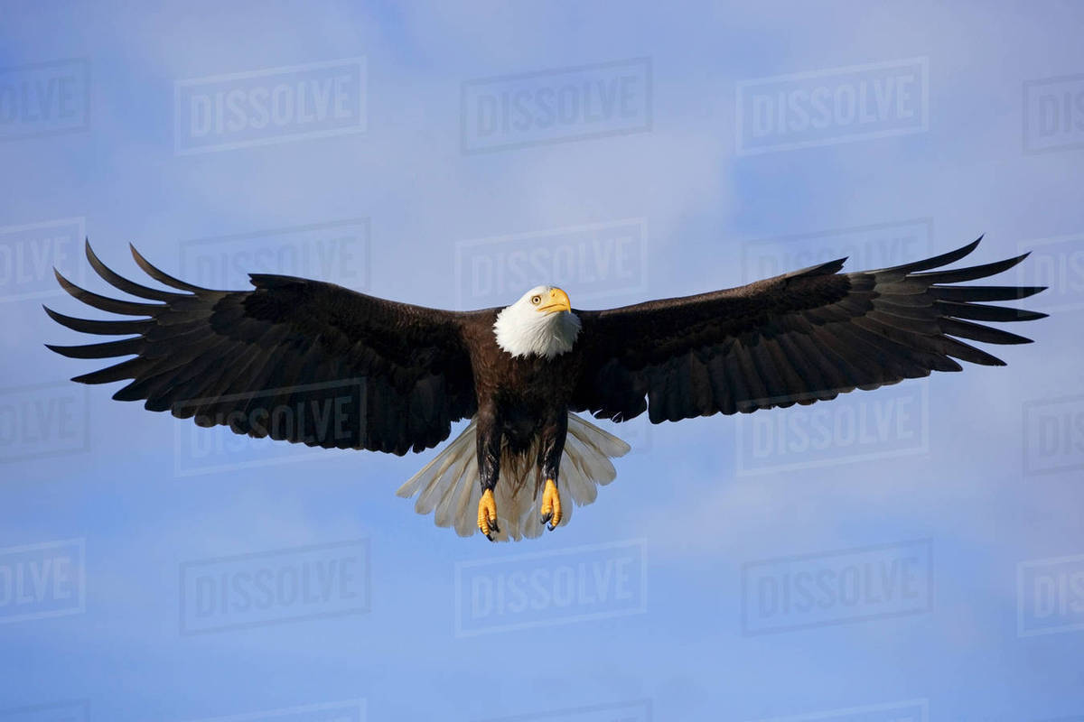 Bald Eagle Soaring In Flight Southeast Alaska With Coast Mountains Inside Page Summer