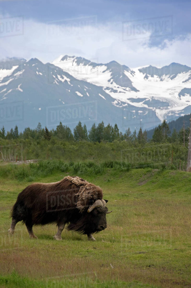 grassy field background. Adult Musk Ox Stands In Grassy Field With Chugach Mountains The  Background At Alaska Wildlife Conservation Center Southcentral, During Grassy Field Background R
