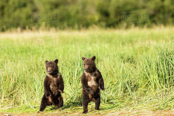Brown bear (Ursus arctos) cubs stand on their hind legs as they watch their mother fish for salmon at Geographic Harbor in Katmai National Park in Southwestern Alaska. Rights-managed stock photo