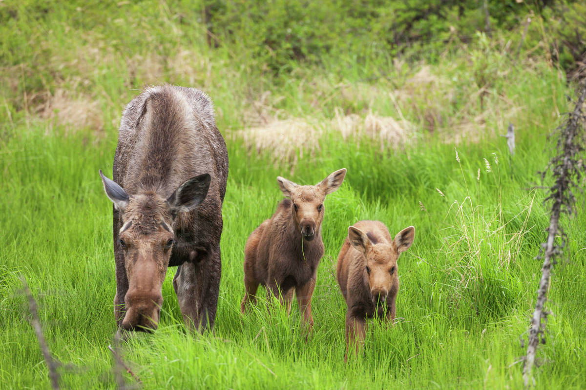 Cow moose and twin calves feed on spring grasses, Arctic, Alaska  stock  photo