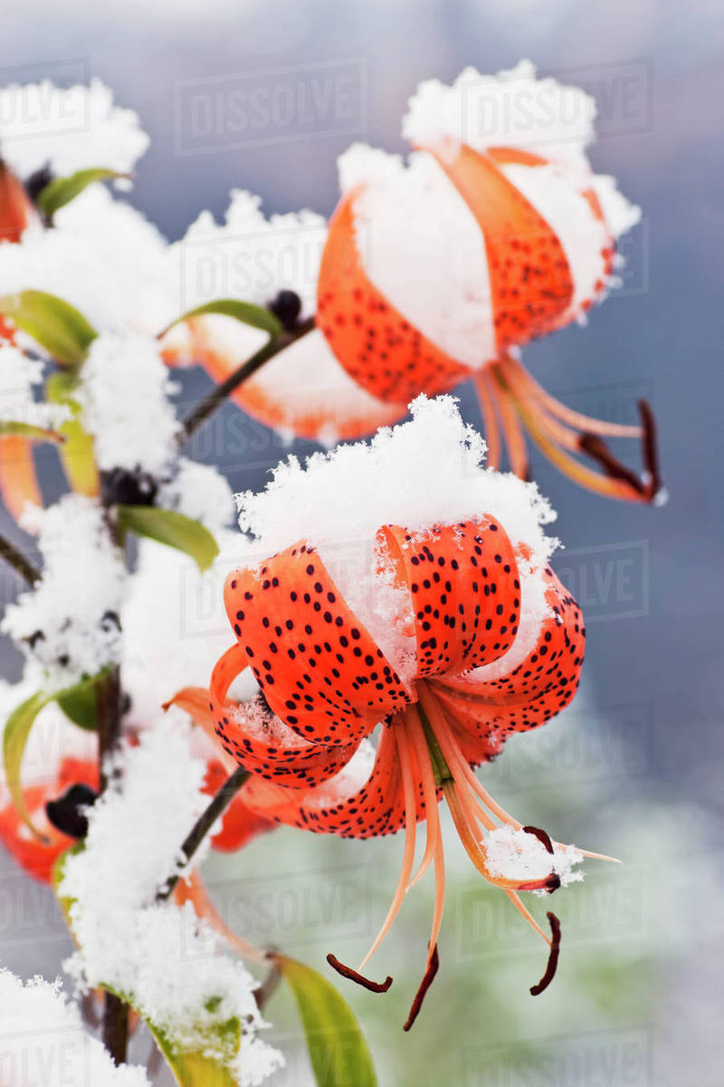 First snowfall of the season covers late blooming Tiger Lillies, Eagle  River, Southcentral Alaska  stock photo
