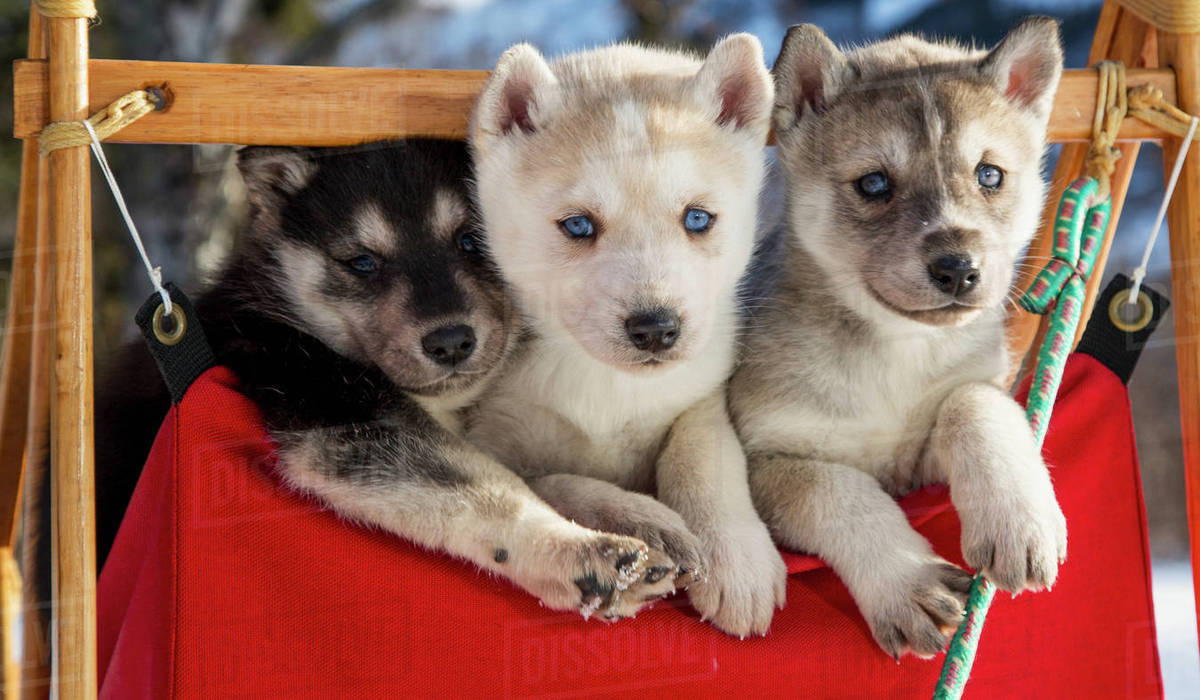 Close Up Of Siberian Husky Puppies In A Small Dog Sled, Alaska ... | Siberian Husky Puppies En Puerto Rico