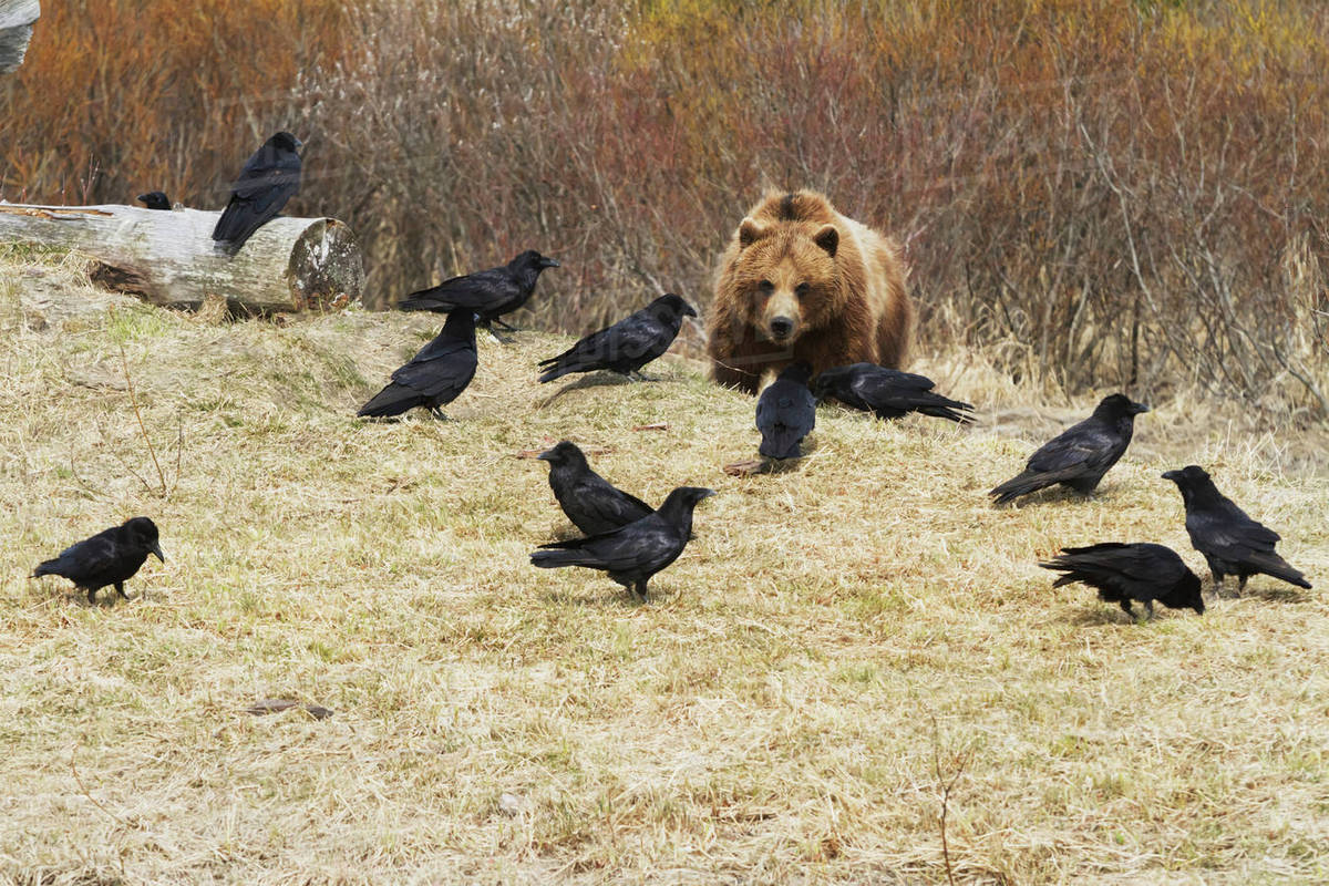 Captive Grizzly Bear Eating Meat With A Flock Of Ravens Trying To Steal Some Ss At The Alaska Wildlife Conservation Center In Portage