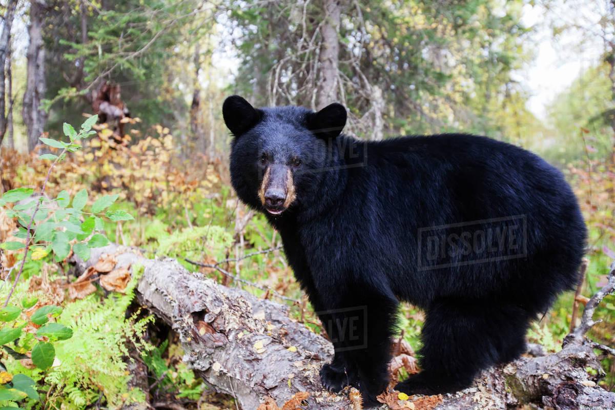 Bear adult