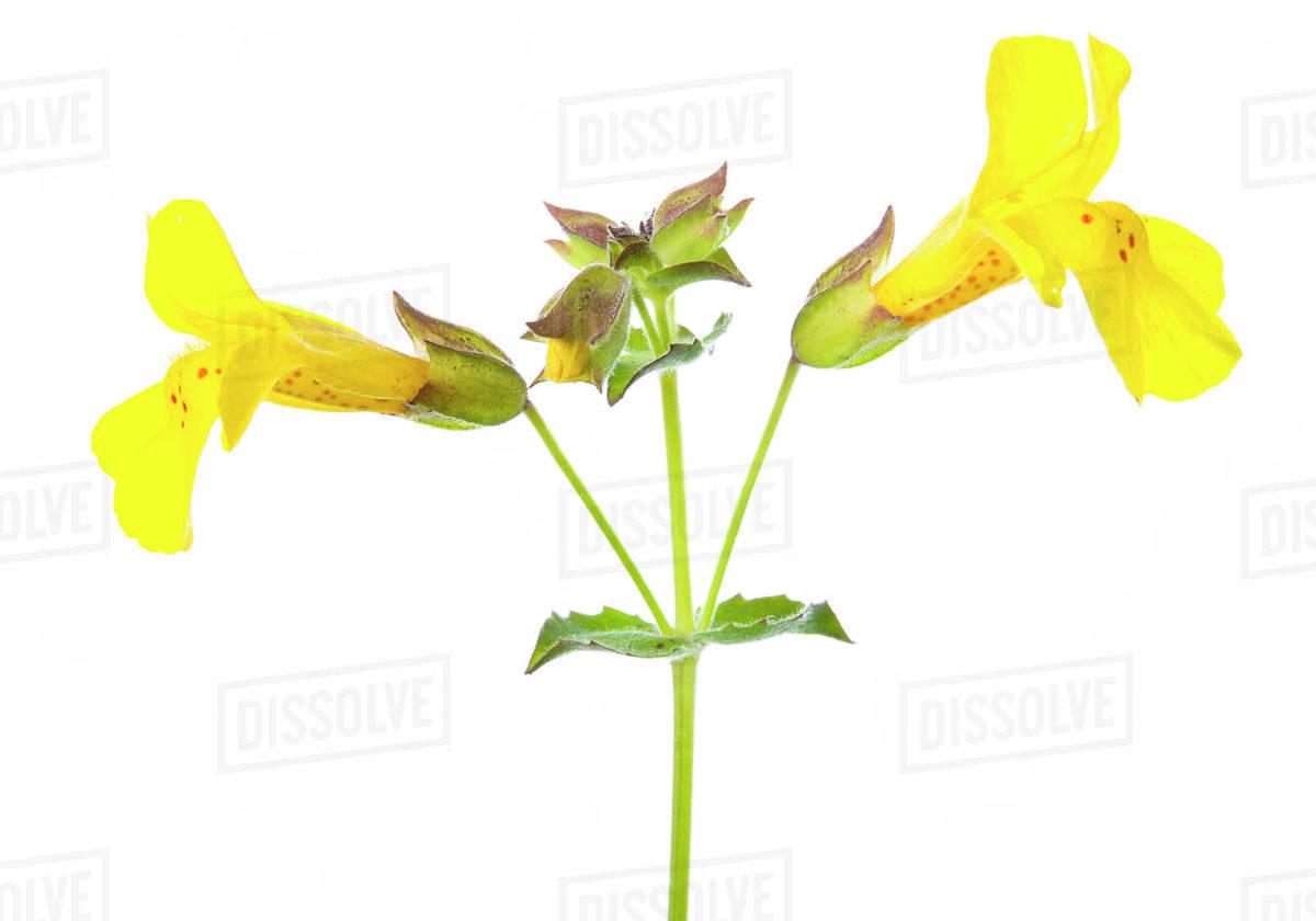 Studio Close Up Of Yellow Monkey Flower Erythranthe Guttata Stock