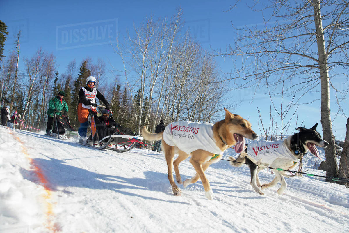 Cindy Abbott on the trail during the Iditarod 2014 Ceremonial start,  Anchorage, Alaska  stock photo