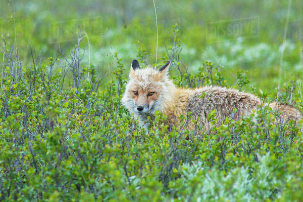 A red fox hunting in Denali National Park on a summers day, Interior Alaska. Rights-managed stock photo