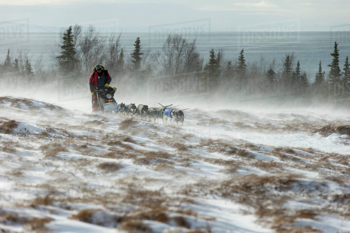 Nathan Schroeder of Minnesota runs on the trail in 30 mph winds and through tussocks several miles after leaving the Unalakleet checkpoint during Iditarod 2015 Rights-managed stock photo