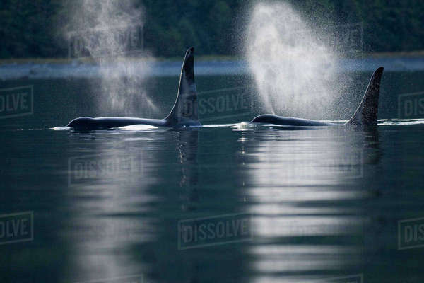 Orca Whales Exhale (Blows) As They Surfaces In Alaska's Inside Passage, Southeast Alaska Rights-managed stock photo