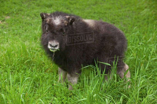 Close Up Of A Muskox Calf Standing In A Field Of Green Grass, Alaska Wildlife Conservation Center, Southcentral Alaska, Summer. Captive Rights-managed stock photo