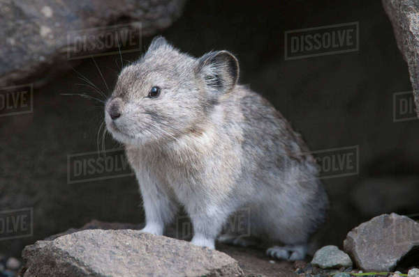 Collared Pika Sits At Entrance To Its Den In A Rockpile Near Igloo Creek In Denali National Park And Preserve, Interior Alaska, Fall Rights-managed stock photo