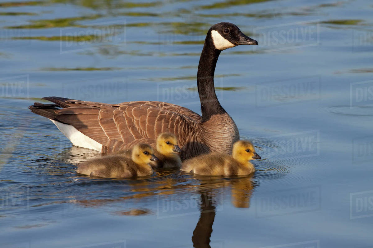 9725264dce4 Adult Canada Goose Swimming With Three Newborn Gosling Chicks In Potter  Marsh, Anchorage, Southcentral Alaska, Spring