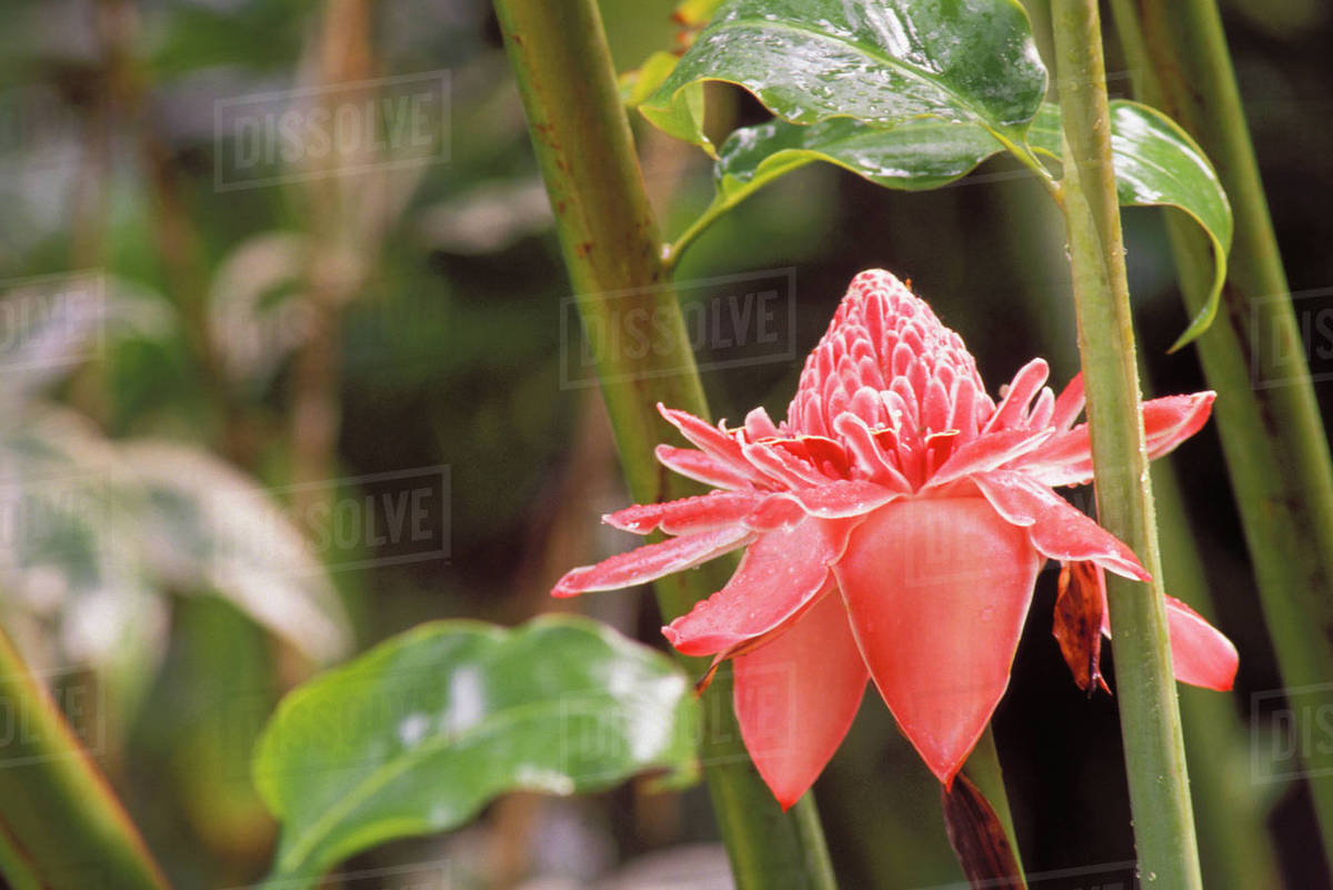 Pink Torch Ginger Single Flower Between Two Green Branches Stock
