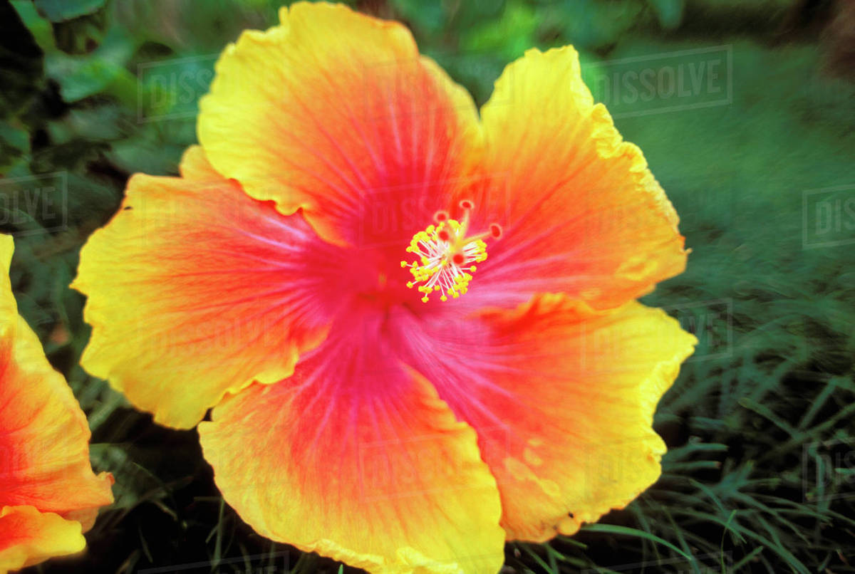 Close Up Of Hybrid Hibiscus Flower Yellow Orange With Bright Pink