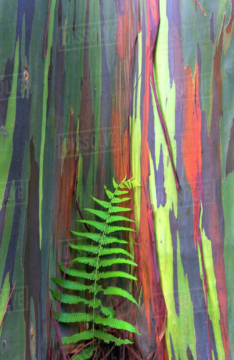 hawaii maui rainbow eucalyptus tree trunk and fern stock photo