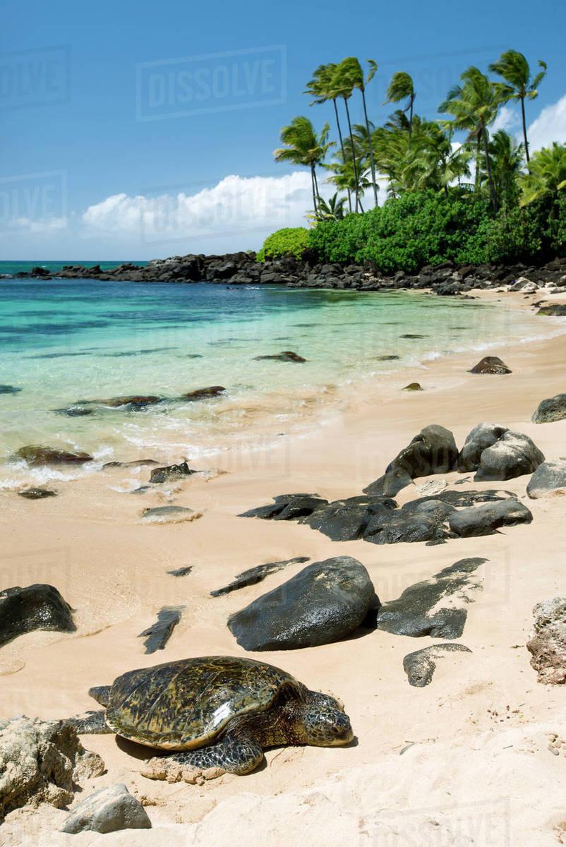 Hawaii Oahu North S Laniakea Beach Green Sea Turtle Chelonia Mydas Resting On Sandy
