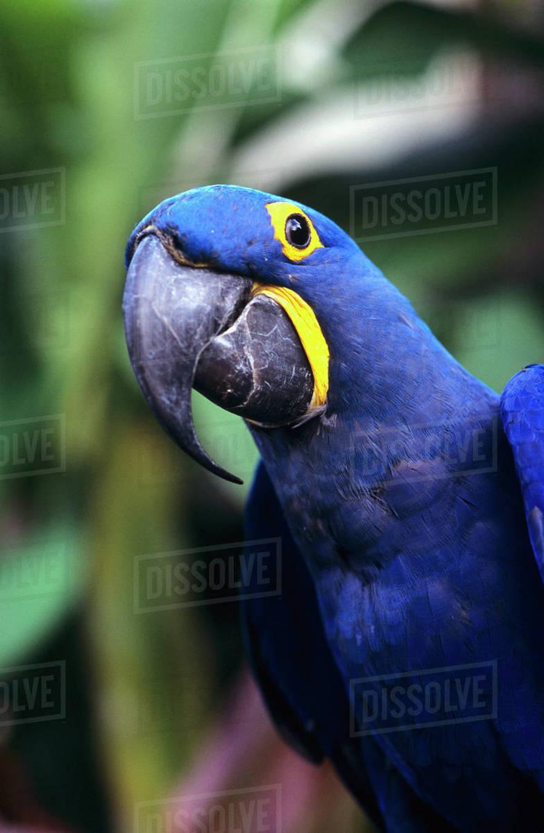 Blue and yellow Hyacinth Macaw bird stock photo