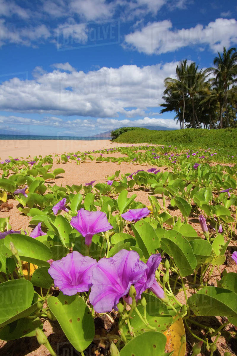 Usa hawaii maui green leafy vines with pink flowers on keawakapu usa hawaii maui green leafy vines with pink flowers on keawakapu beach kihei mightylinksfo