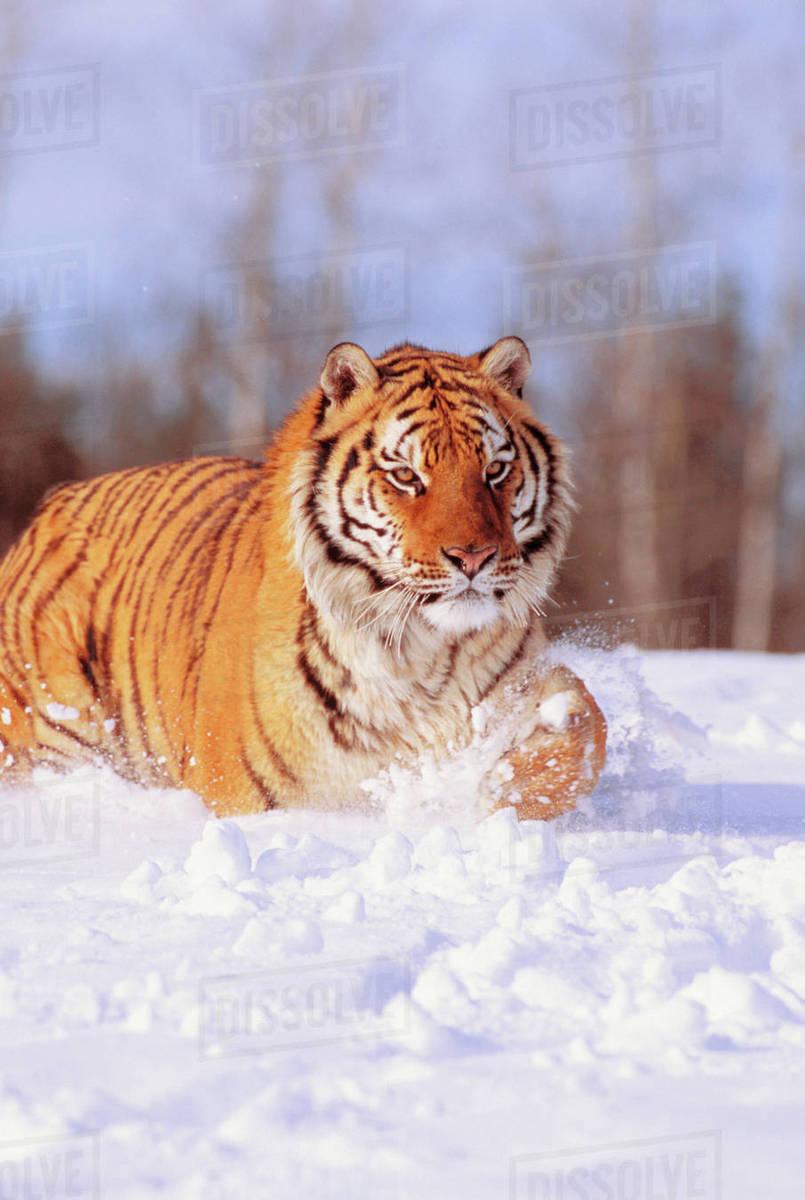 Alaska, Siberian Tiger (Panthera Tigris Altaica) Stalking Prey In Deep  Winter Snow  stock photo