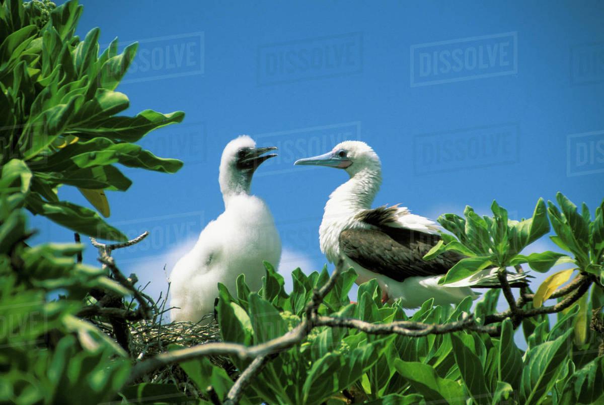 Kiribati, Kiritimati (Christmas Island), Red Footed Boobie And Chick ...