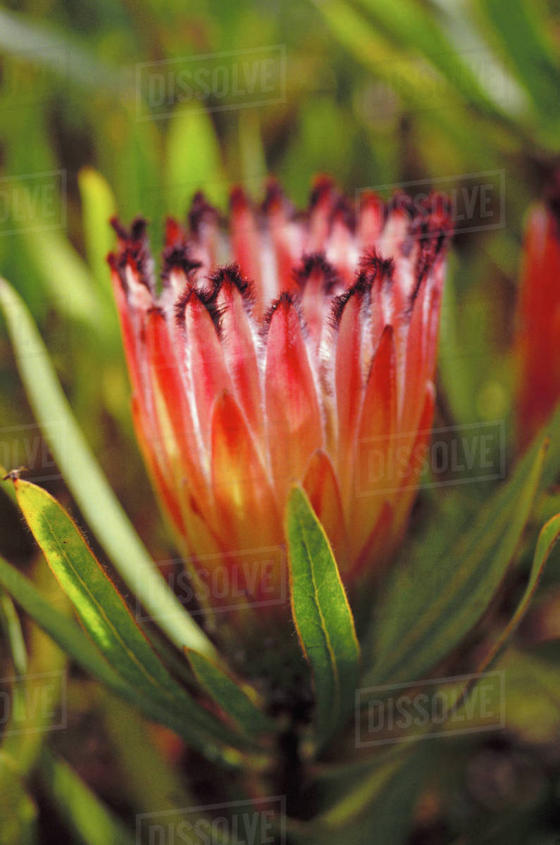 Hawaii Pink Mink Protea Neriifolia Stock Photo Dissolve
