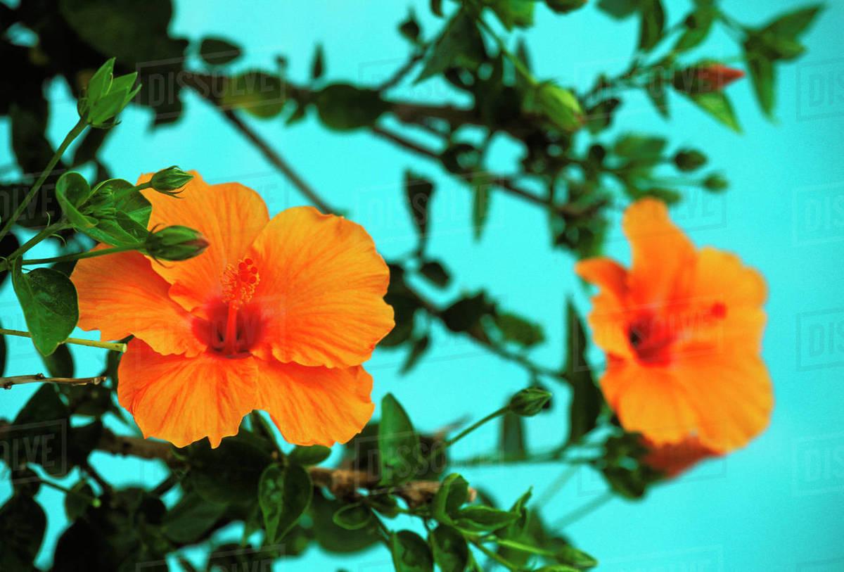 Hawaii orange hibiscus flowers on plant stock photo dissolve hawaii orange hibiscus flowers on plant izmirmasajfo