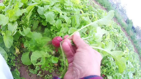 Picking radishes Royalty-free stock video