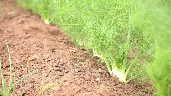 Fennel bulbs growing in vegetable garden Royalty-free stock video