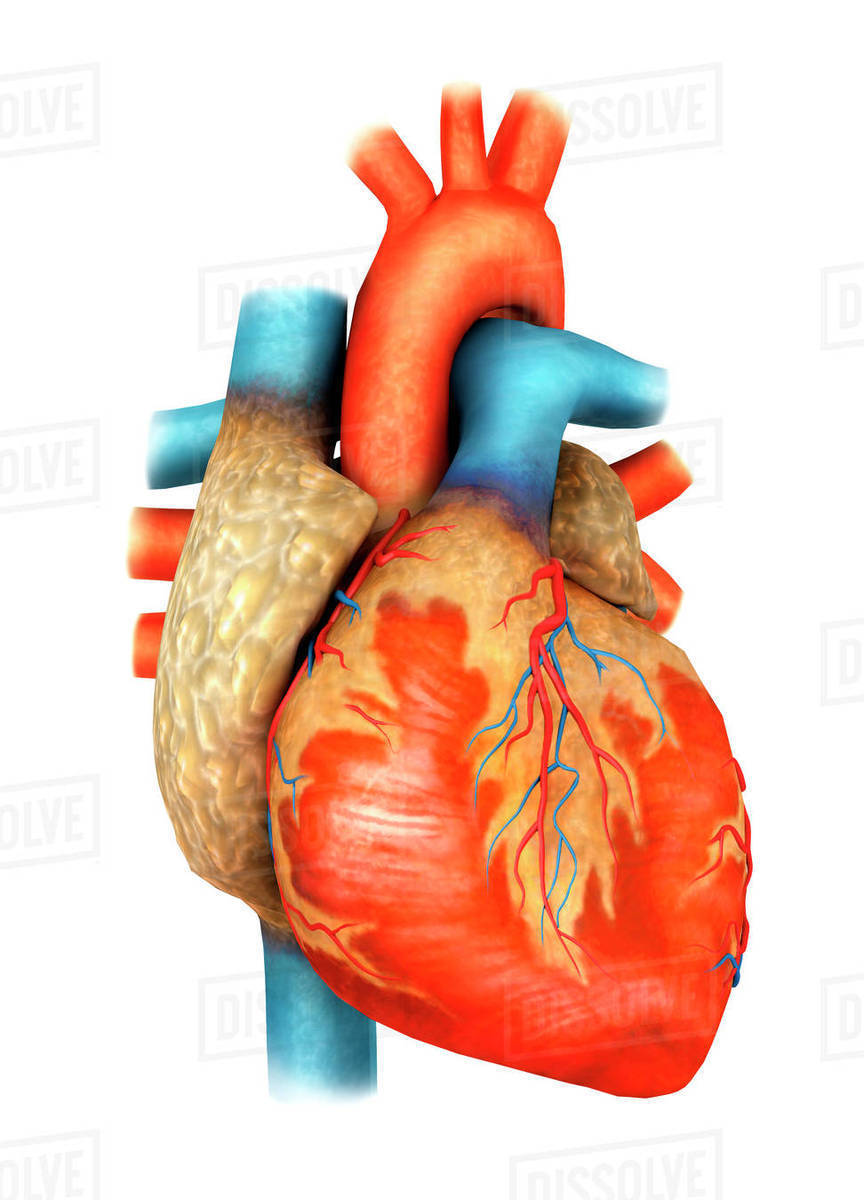 Front view of human heart. - Stock Photo - Dissolve