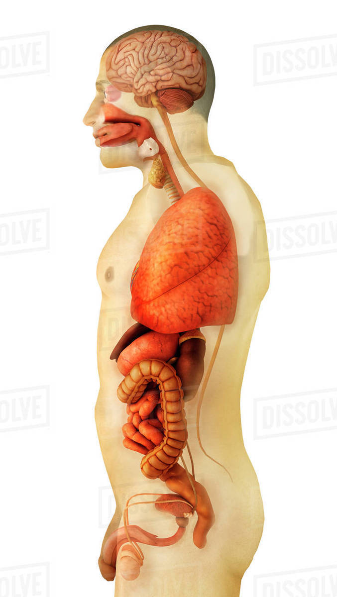 Anatomy of human body showing whole organs, side view. - Stock Photo ...