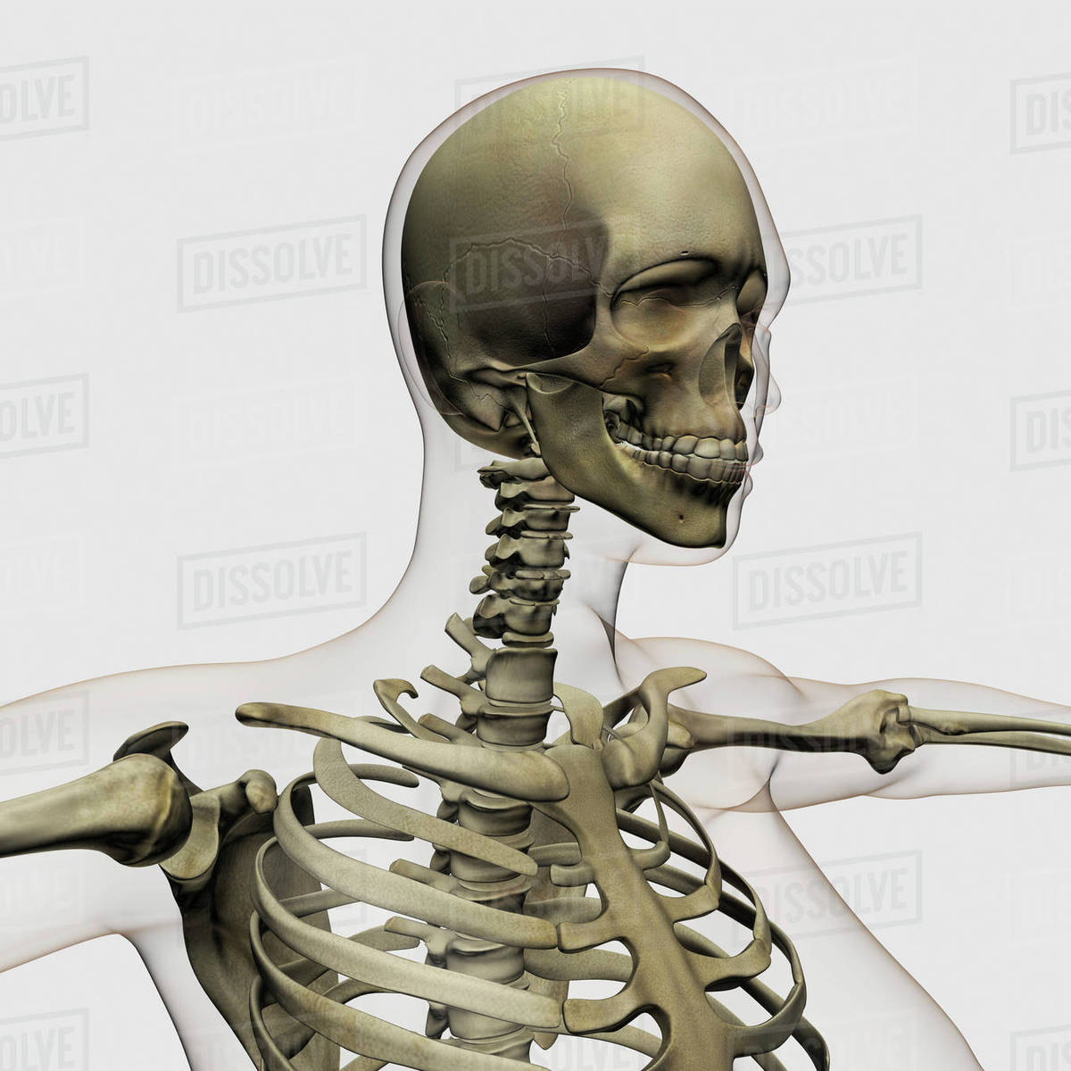 Medical Illustration Of A Womans Skull And Skeletal System Stock