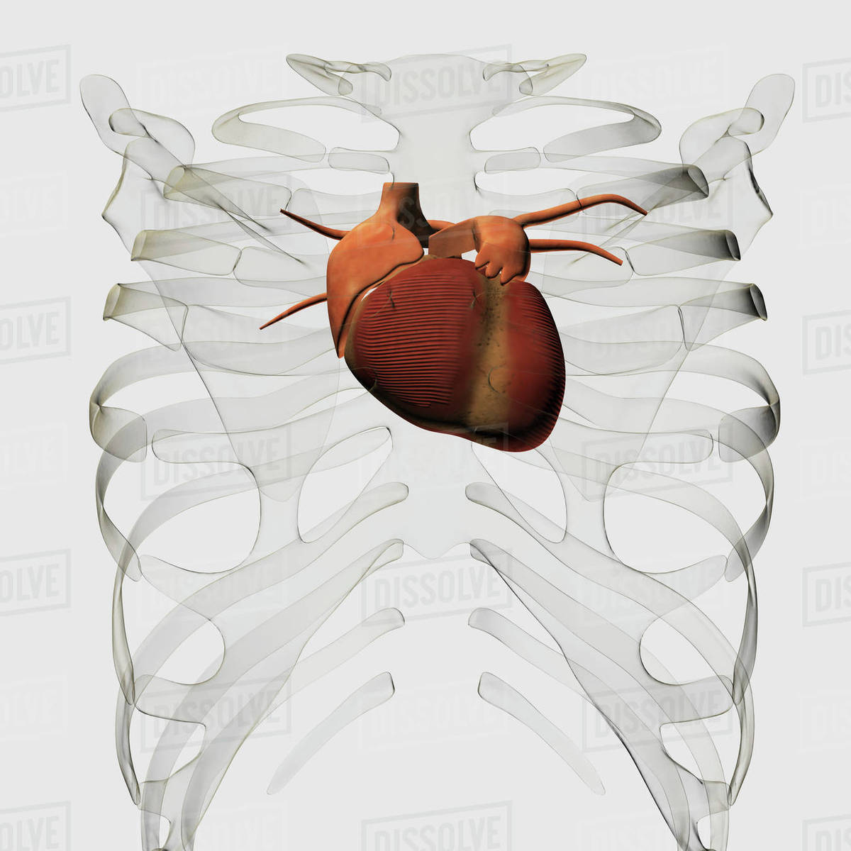 Heart And Rib Cage Anatomy Diagram - Download Wiring Diagrams •