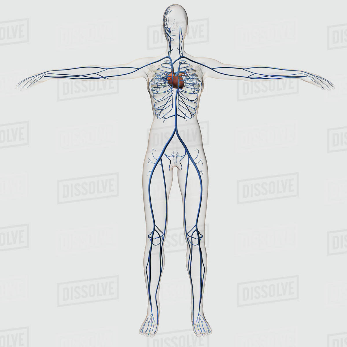 Medical Illustration Of Female Circulatory System With Heart And