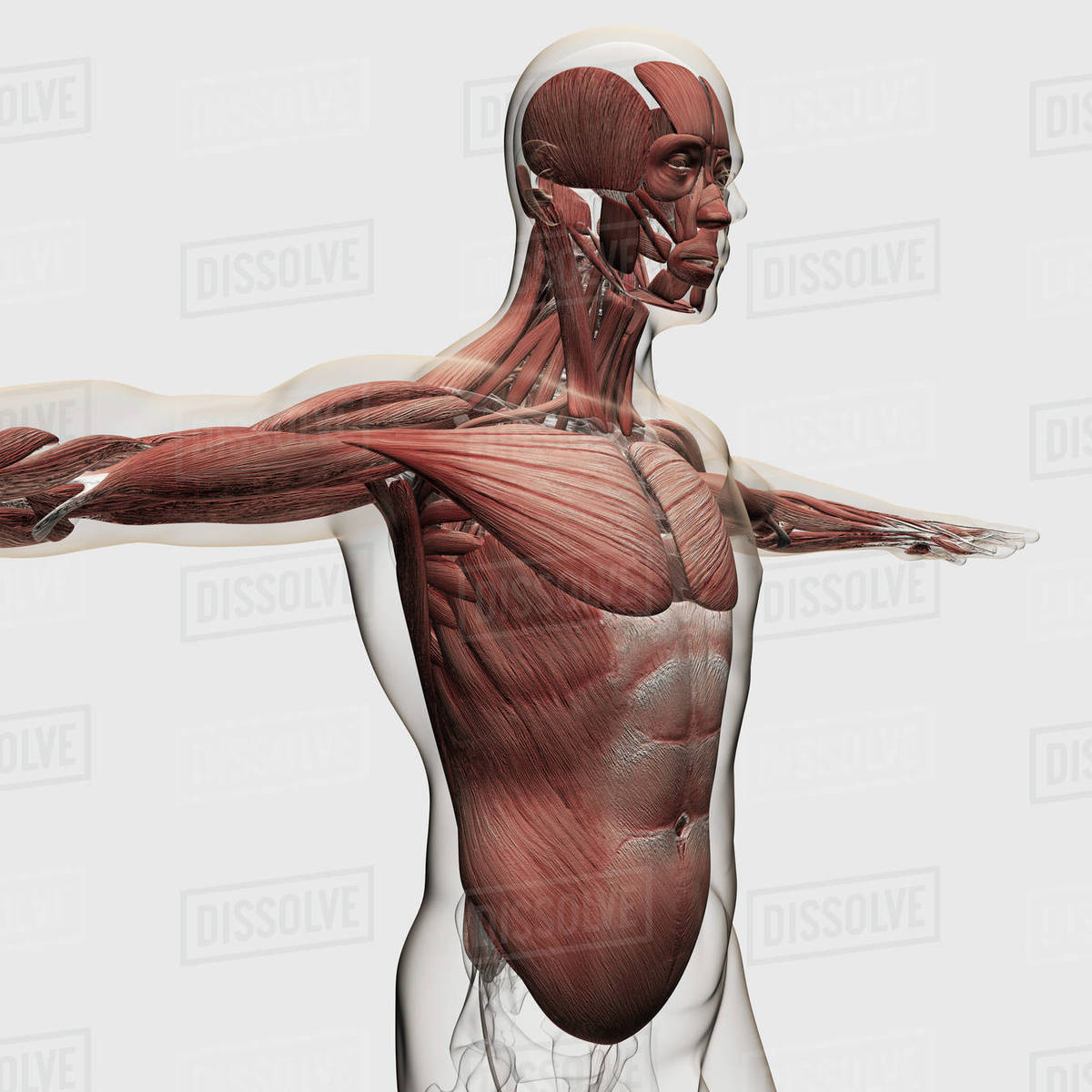 Human Midsection With Internal Organs Stock Photo Dissolve
