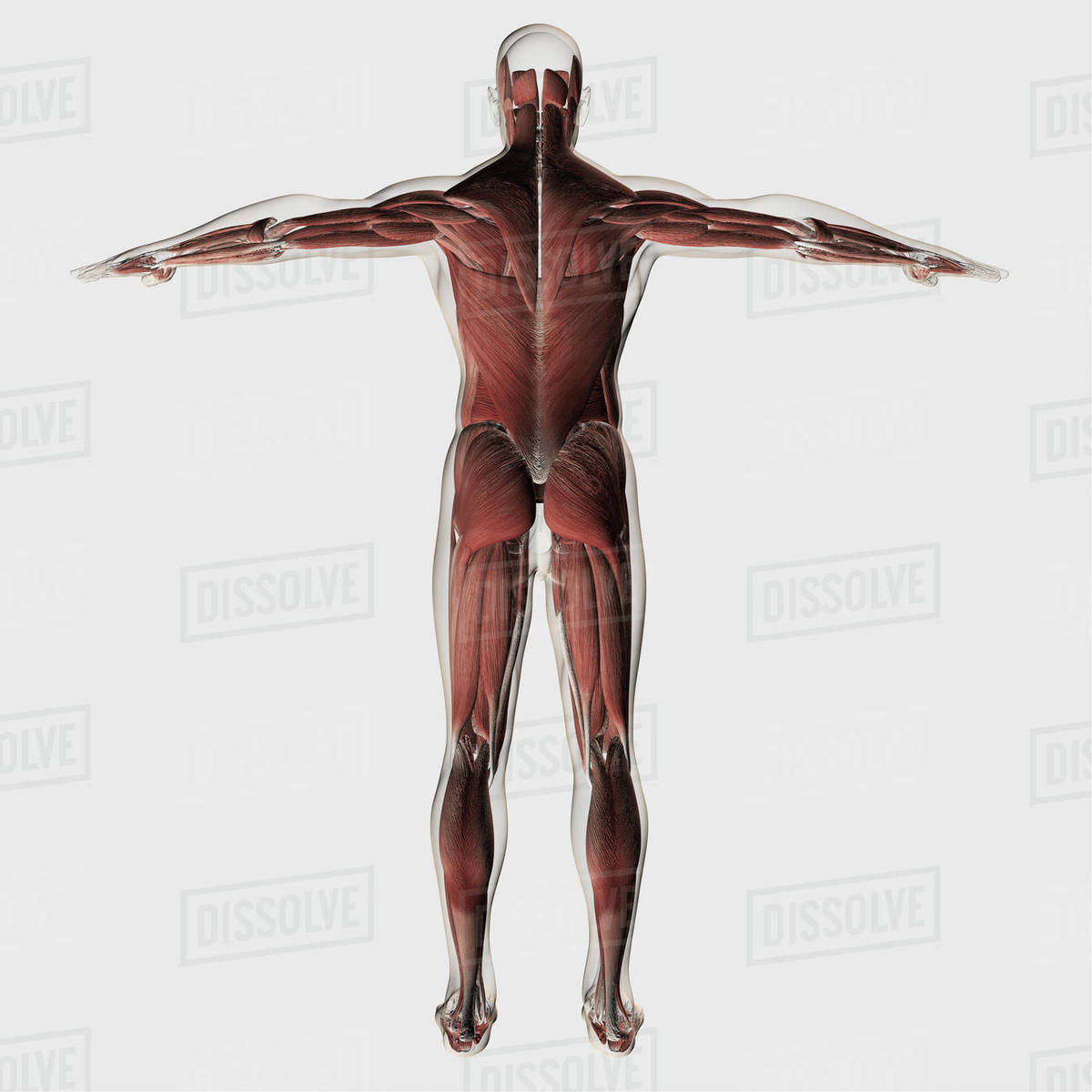 Male Muscle Anatomy Of The Human Legs Posterior View Stock Photo