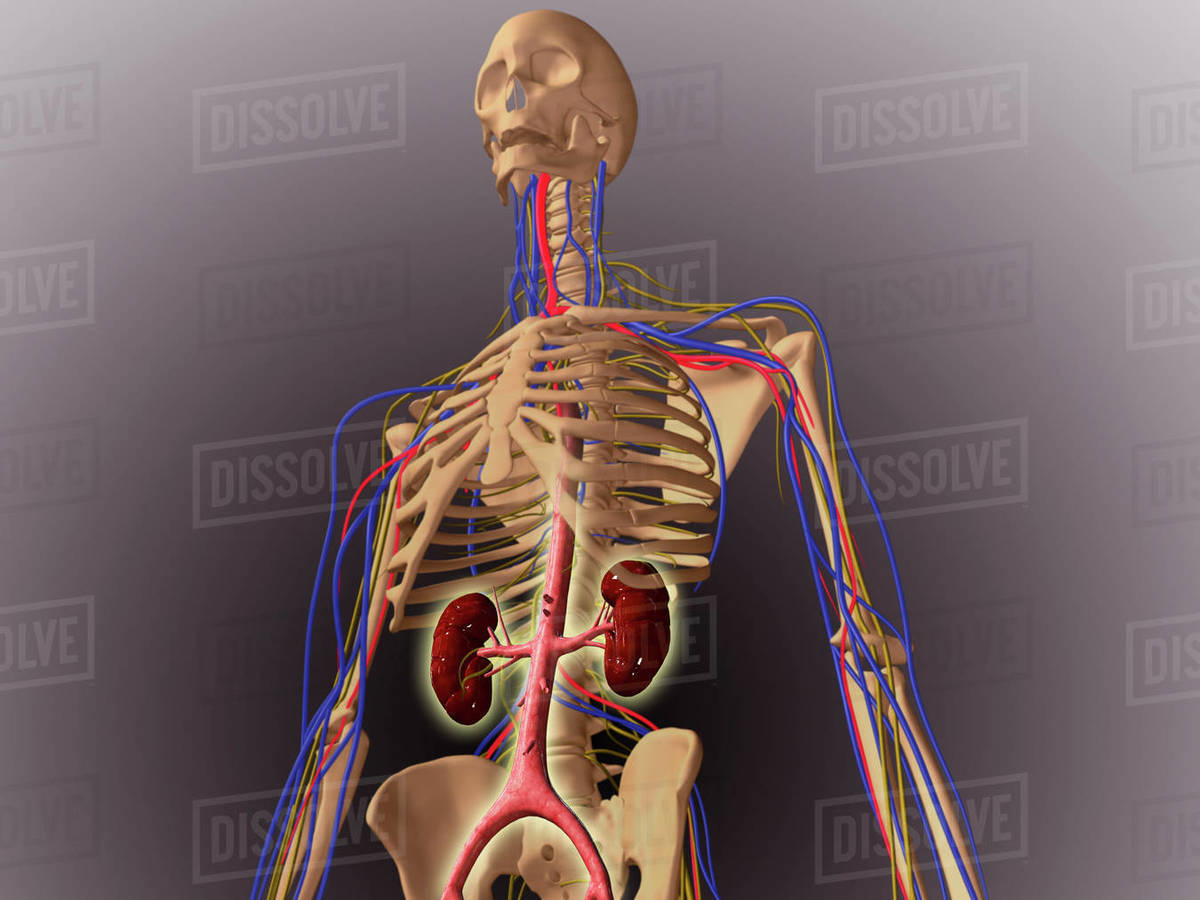 Midsection View Showing Internal Organs Of Human Body Stock Photo