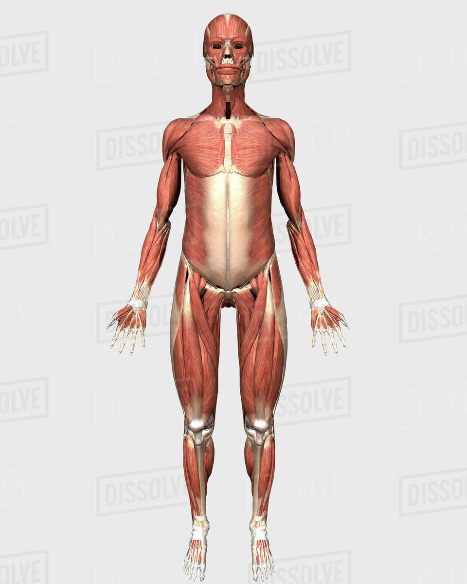 Cutaway View Of Male Chest Showing Lung Stock Photo Dissolve