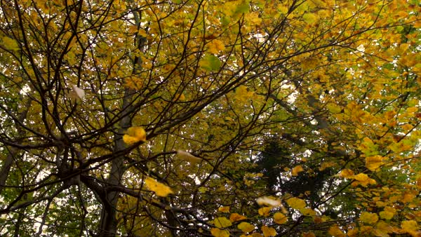 Yellow autumn leaves falling towards camera Royalty-free stock video