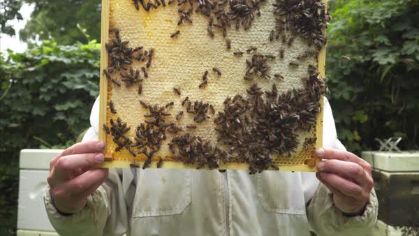 Static shot of a beekeeper holding a frame swarming with bees Royalty-free stock video